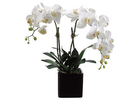 Main Moth Orchid Floral in Square Planter Image